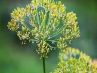 Dill ( Anethum graveolens)