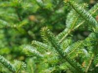 Balsam Fir (Idaho) (Abies balsamea)