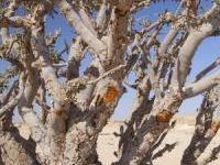 Frankincense (Boswelia carteri)