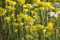 Helichrysum (Helichrysum italicum)