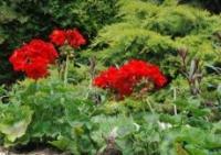 Geranium (Pelargonium gaveolens)