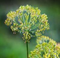 Dill ( Anethum graveolens)