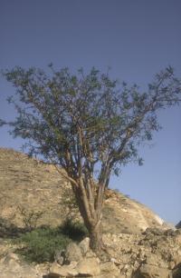 Frankincense, Sacred  (Boswellia sacra)